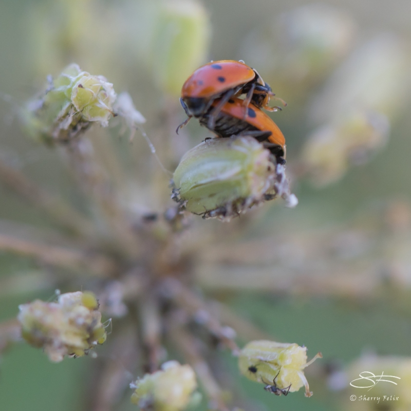 Ladybugs, Wave Hill, NY 6/15/2016