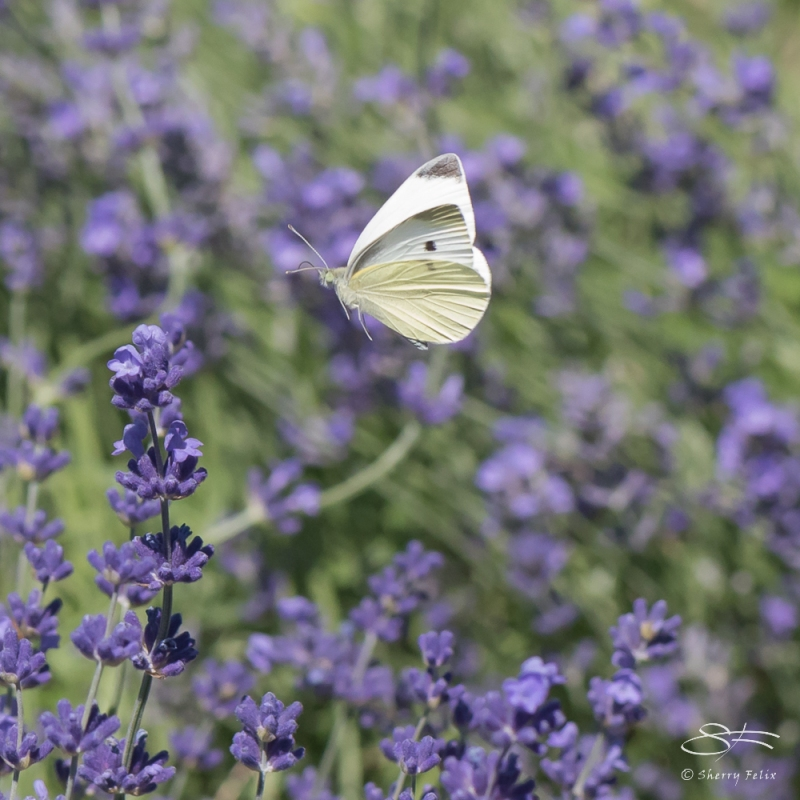 Cabbage White (Pieris rapae), Wave Hill, NY 6/15/2016