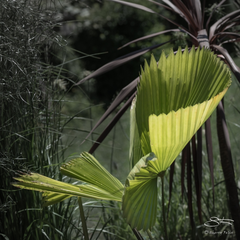Palm leaf, Wave Hill, NY 6/15/2016