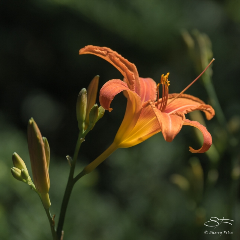 Orange Day-lily (Hemerocallis fulva), Wave Hill, NY 6/15/2016