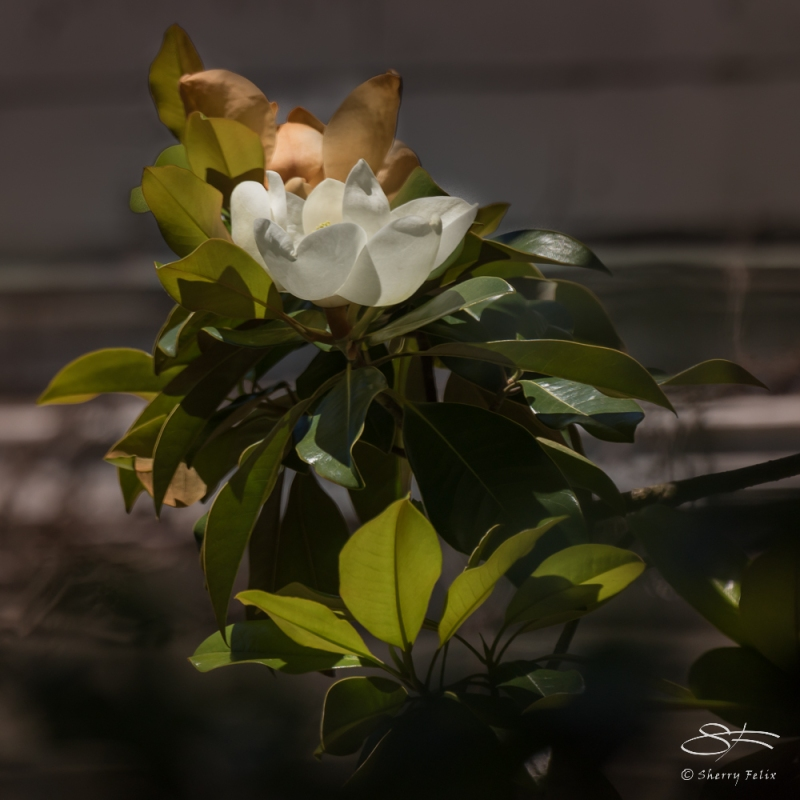 Magnolia spcs., Wave Hill, NY 6/15/2016