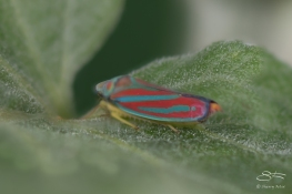 Red-banded Leafhopper (Graphocephala coccinea), Central Park, 6/24/2016