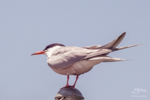 Common Tern (Sterna hirundo), Governors Island 7/14/2014