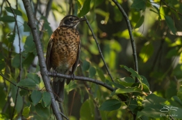Young American Robin, Battery Park 7/23/2016