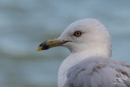 Ring-billed Gull, Battery Park 7/23/2016