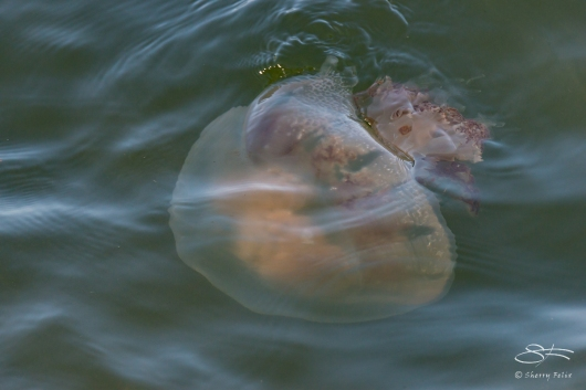 Jellyfish, Battery Park 7/23/2016