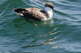 Greater Shearwater, Grand Manan 9/3/2012