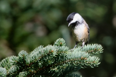 Red-breated Nuthatch, Dark Harbour, Grand Manan 9/2/2012
