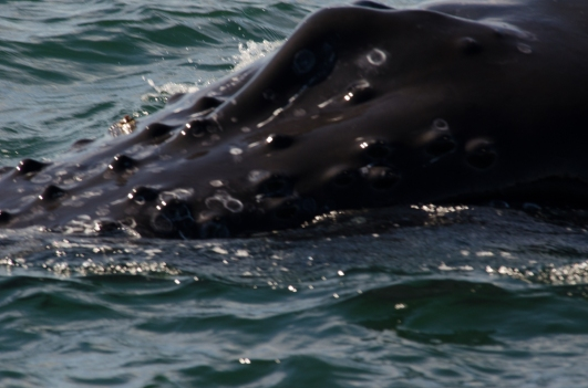 Humpback Whale, Grand Manan 9/3/2012