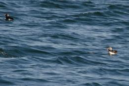 Atlantic Puffins, Grand Manan 9/3/2012