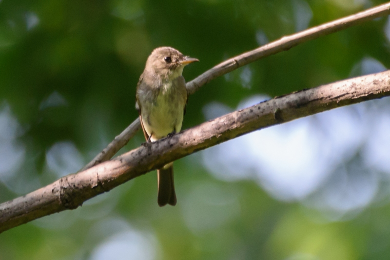 Yellow-bellied Flycatcher (Empidonax flaviventris), Central Park 9/10/2016