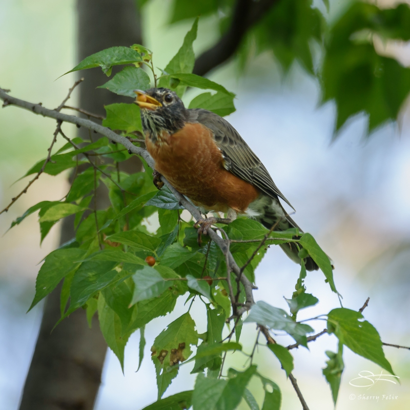 American Robin, Central Park 9/10/2016