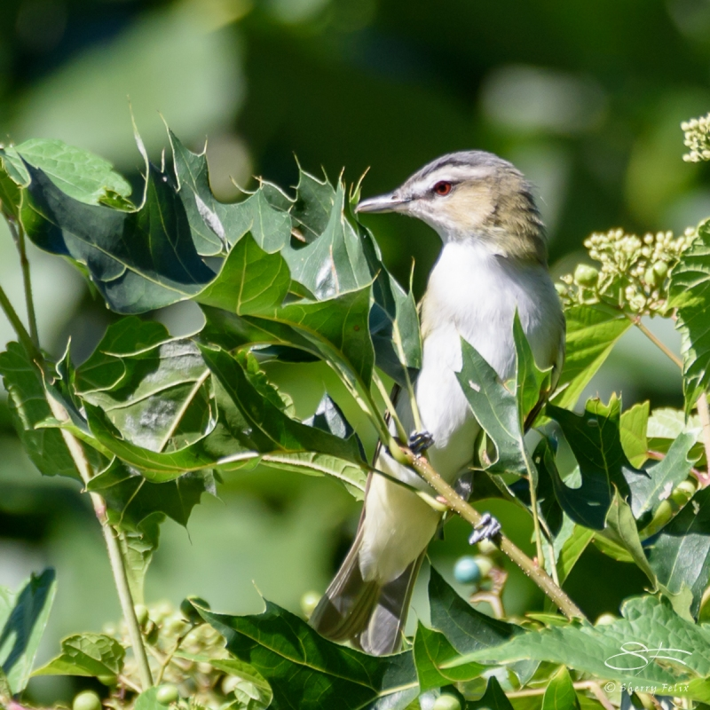 Red-eyed Vireo, Central Park 9/12/2016