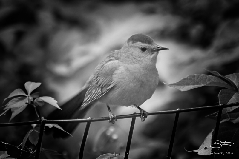 Grey Catbird, Central Park 9/16/2016