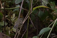 Ruby-crowned Kinglet, Central Park 10/28/2016