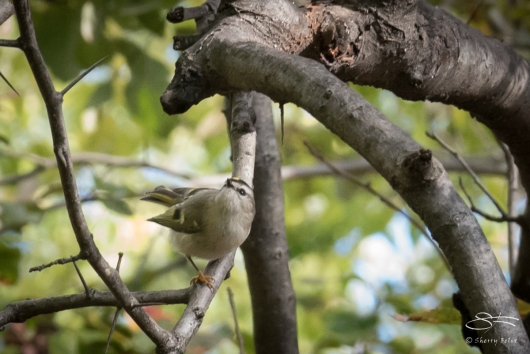 Golden-crowned Kinglet, Central Park 10/28/2016