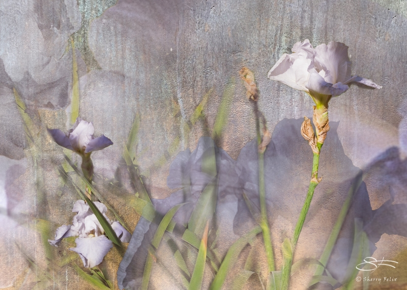 Misty Iris, 11/6/2016