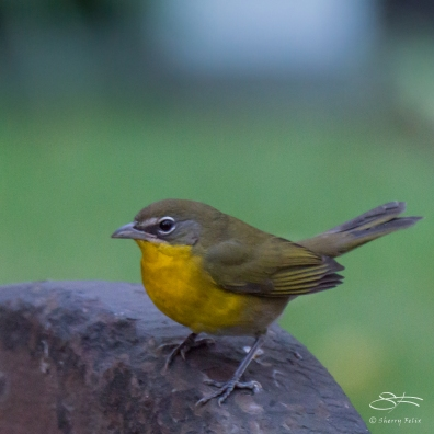 Yellow-breasted Chat, Trinity Church 11/19/2016