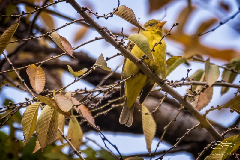 Western Tanager, City Hall Park 11/26/2016