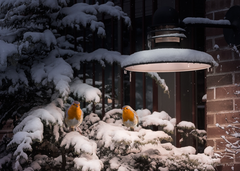 Robins come to NYC, Jan and Dec 2015