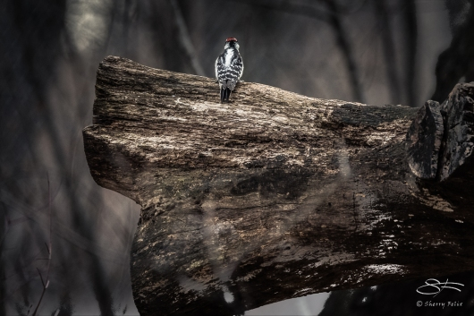 Downy on Downed Log, Centraql Park 12/31/2016