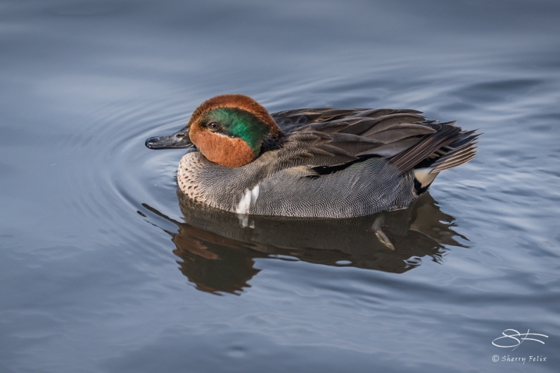 Green-winged Teal, Central Park 12/31/2016