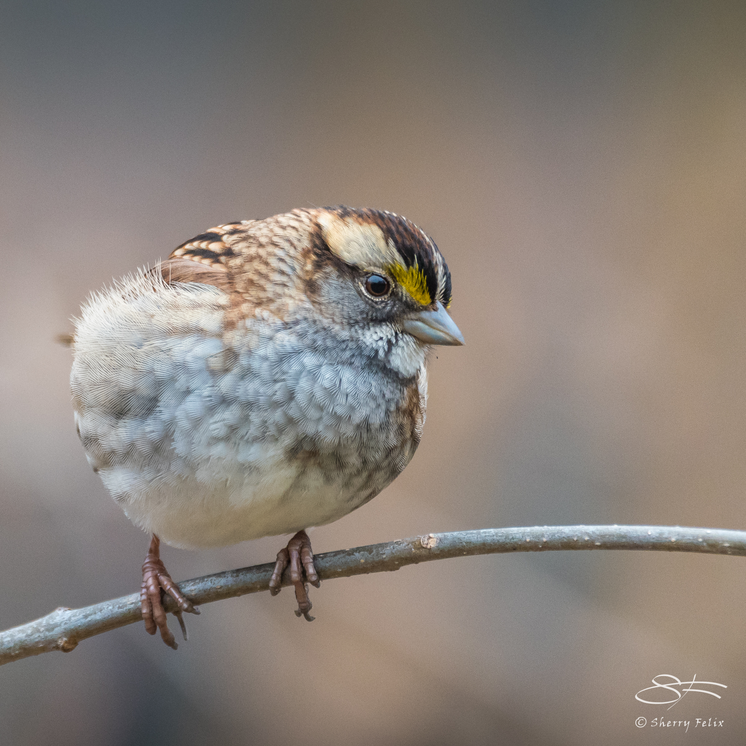 White-throated Sparrow, Central Park 1/22/2017