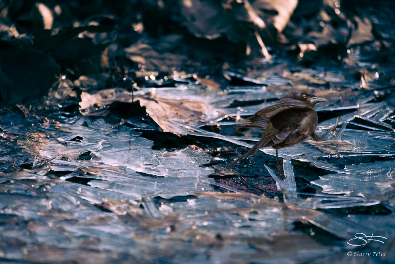 Grackle on Cracked Ice, Central Park (composite) 2/16/2017