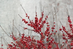 Red berries, High Line 2/19/2017