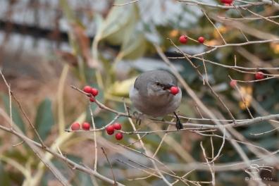 Mocking Bird eating berries, High Line 2/19/2017