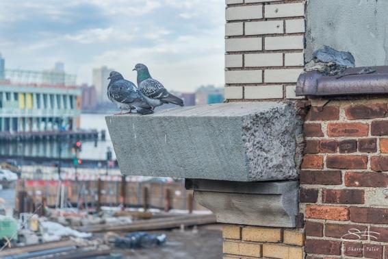 Rock Pigeons, High Line 2/19/2017