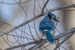 Blue Jay, Central Park 2/16/2017