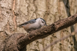 White-breasted Nuthatch Central Park 2/16/2017