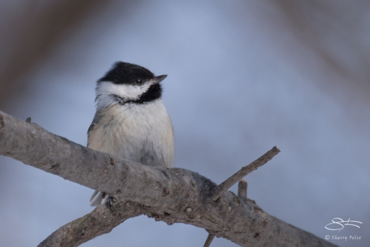 Black-capped Chickadee, Central Park 3/16/2017