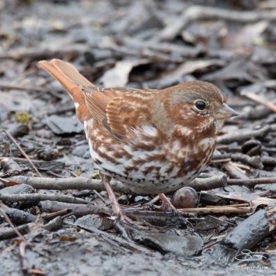 Fox Sparrow, Central Park 3/29/2017
