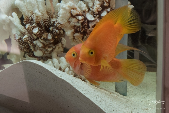 Gold Fish at Macy's Flower Show, NYC 4/2/2017