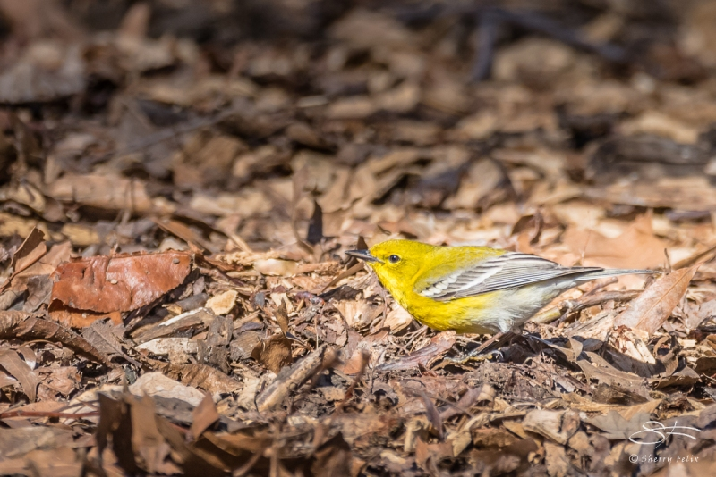 Pine Warbler, Central Park 4/5/2017
