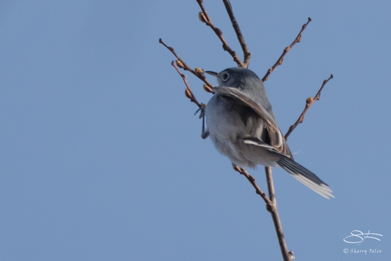 Blue-gray Gnatcatcher, Central Park 4/5/2017