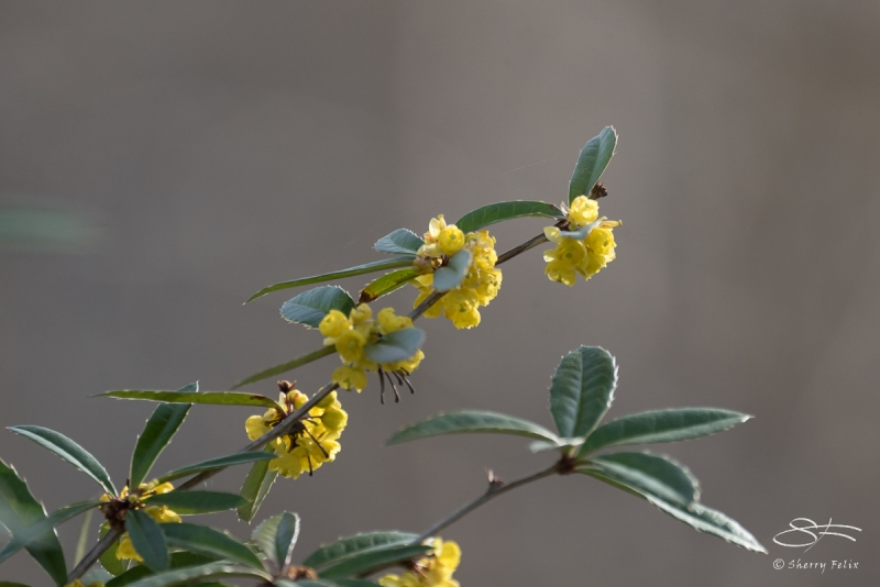 Chinese Barberry, Central Park 4/11/2017