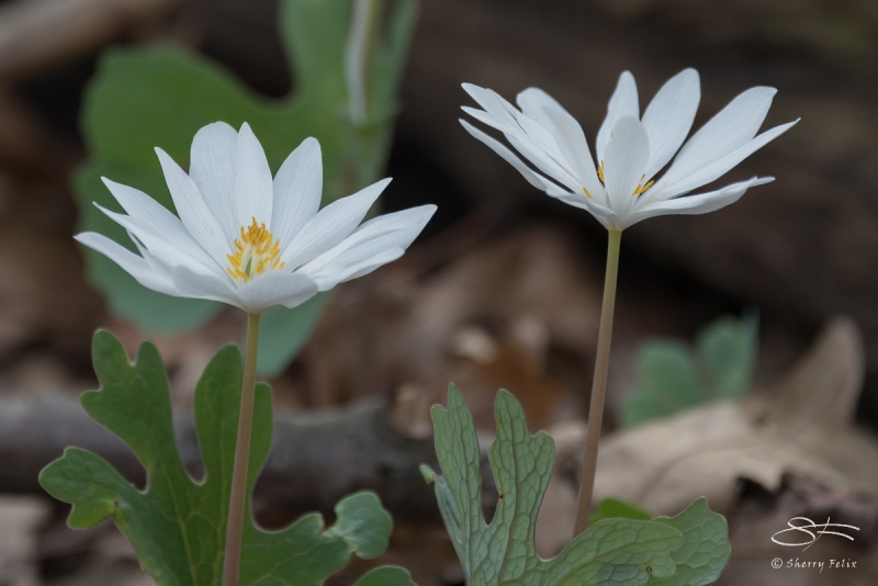 Bloodroot (Sanguinaria canadensis, Central Park 4/11/2017