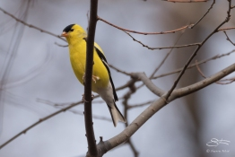 American Goldfinch, Central Park 4/11/2017