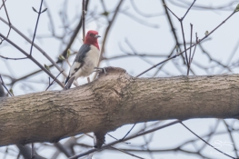 Red-headed Woodpecker, Cnetral Park 4/12/2017