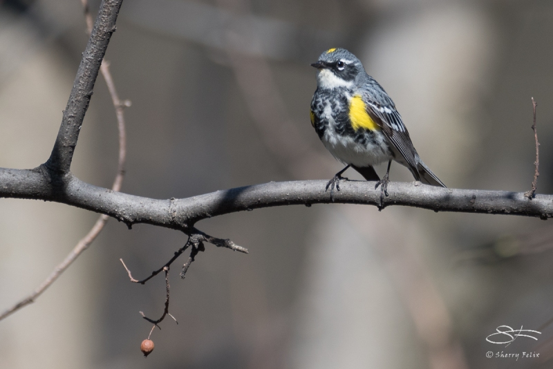 Yellow-rumped Warbler, Central Park 4/18/2017