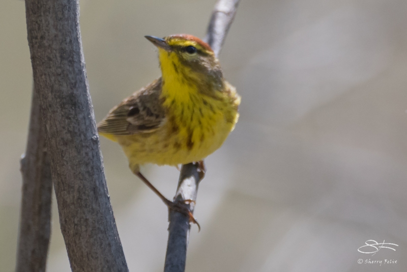 Palm Warbler, Central Park 4/18/2017