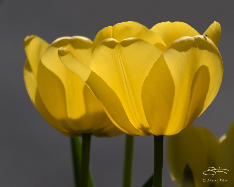 Yellow Tulips, Central Park 4/18/2017