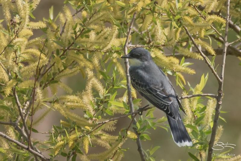 Eastern Kingbird, Cenral Park 5/2/2017