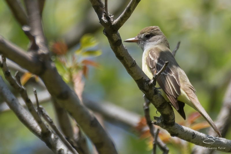 Great Crested Flycatcher, Central Park 5/2/2017