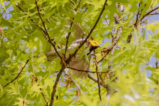 Black-throated Green Warbler, Central Park 5/9/2017