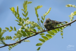 Yellow-rumped Warbler, Central Park 5/9/2017