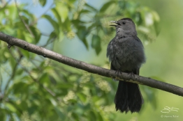 Grey Catbird, Central Park 5/9/2017